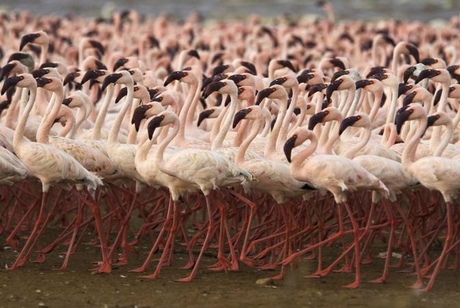 Danza rituale di fenicotteri minori sulle rive del Lago Bogoria, in Kenya. Questi eleganti uccelli di palude, presenti nell?Africa centro-meridionale, vivono in grossi stormi e si nutrono di alghe, crostacei e molluschi (© Barrie Britton)