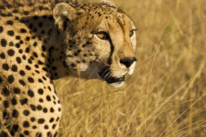 Un giaguaro nel parco gestito dal Lewa Wildlife Conservancy,  in Kenya. Questo velocissimo predatore è anche un abile nuotatore. Nel mondo, il territorio in cui vive è stato dimezzato in pochi anni (© Adam Chapman)