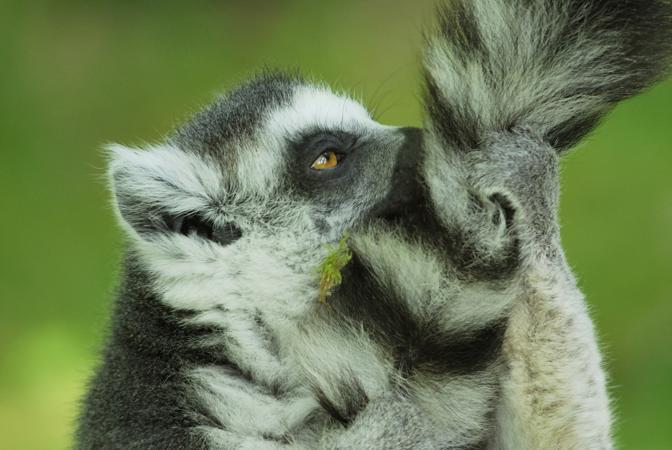 Un Lemore maschio del Madagascar, con la coda ad anello: se la ungono per attrarre le femmine; sempre i maschi secernono un odore molto forte quando sono impegnati nelle lotte per accoppiarsi (© Jouan & Rius/naturepl.com)