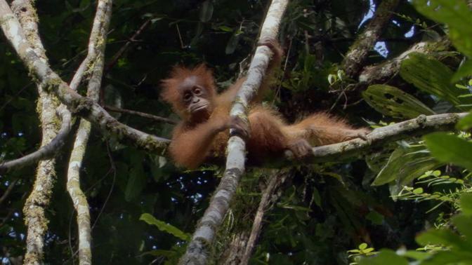 Orango di Sumatra. Hanno l'infanzia più lunga di qualsiasi primate. Possono vivere fino a nove anni con la madre durante i quali sono nutriti ed educati. Sono gli anni in cui imparano le leggi della sopravvivenza © BBC 2009
