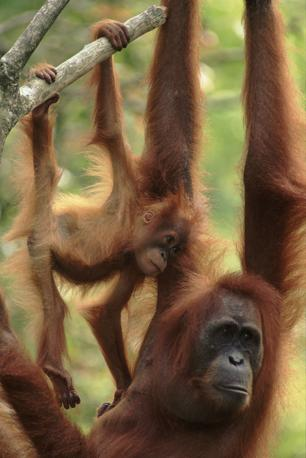 Orangutan nella foresta di Sumatra, Indonesia. Sono costantemente minacciati dai cacciatori che uccidono le madri e vendono i cuccioli come animali da compagnia, oltre che dalla deforestazione selvaggia (© Anup Shah/naturepl.com)