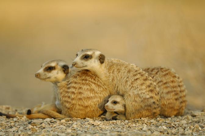 Famiglia di  Meerkat (Suricata suricatta) del Sud Africa, i piccoli fanno capolino tra gli adulti. I suricati riescono a scavare una buca per entrarci con tutto il corpo in soli 2 secondi. La fascia che hanno intorno agli occhi riduce la potenza dei raggi del sole, essenziale per avvistare gli uccelli predatori © Solvin Zankl / naturepl.com