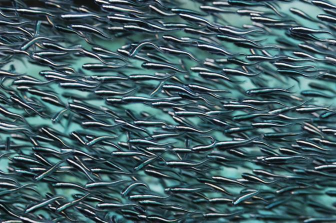Branco di pesci in Indonesia © Georgette Douwma