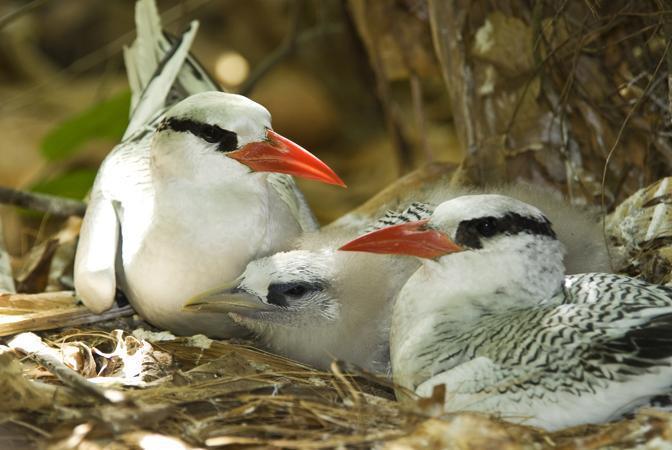 Adulto di Fetonte becco rosso (Phaethon aethereus) con i piccoli (© Barrie Britton)