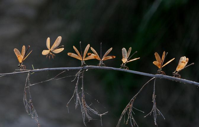 Damigianelle ramate (Calopteryx haemorrhoidalis) : femmine a riposo su un ramo in Provenza (© Georg Ruppell)