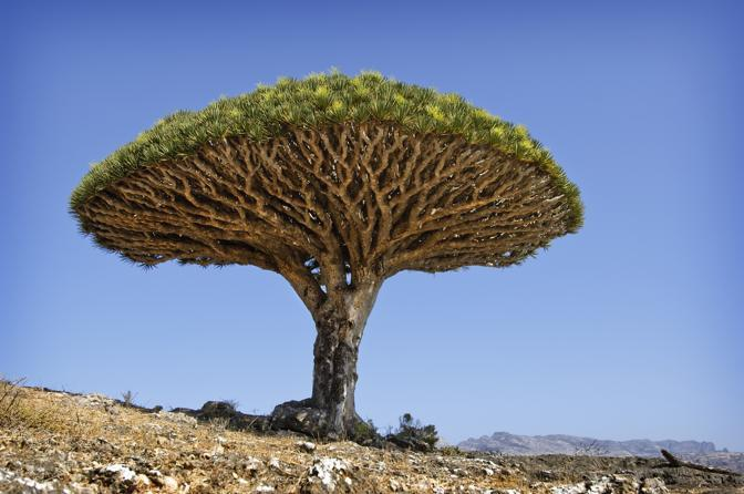 Drago rosso di Soqotra, nello Yemen. La resina color cremisi che dà il nome a questo albero viene usata per curare indisposizioni, colorare la casa e per creare rossetti per labbra. L'albero del drago rosso cresce solo sull'isola di Soqotra, le cui montagne sono ricche di acque generate dalle prime nebbie del mattino, fondamentali per la crescita di questa pianta'  © Neil Lucas