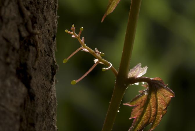 """Certe dinamiche del mondo vegetale sono impossibili da vedere a occhio nudo. Con l'uso delle nuove tecnologie di ripresa al rallentatore molte cose diventano chiare: Come le foglia appiccicose  dell'edera di Boston che si arrampica verso la luce usando foglie e peduncoli per sostenersi agli alberi nella """"salita"""" (© BBC 2009)"""