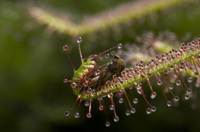 Venere acchiappamosche, ripresa nel parco di Devon. Nelle riprese, grazie alla teconolgia a rallentatore si vede la pianta che scatta e si chiude  di colpo per imprigionare la presa.  Sopravvive in un terreni acqutrinosi e si adatta interferendo con le prede. Le mosche sono attratte dal colore delle dentellature e dalla  goccia molto piccola di nettare sulla punta di ogni pelo. Non appena toccano la pianta, la mosca è imprigionata dalle sommità appiccicose. La venere si arrotola intorno alla mosca che annega nel nettare prima di essere digerita lentamente    (© BBC 2009)