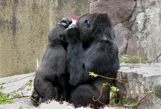 La gorilla si rifiuta di dare l'oggetto al cucciolo. Non vuole renderlo neppure al personale dello zoo.  Ma alla fine si arrende e lo restituisce in cambio una mela (Olycom/Christina Spicuzza)