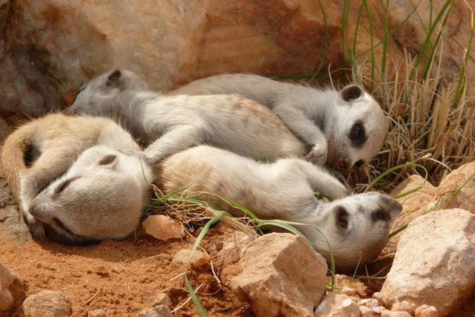 Il clan dei suricati for Quali sono i rettili