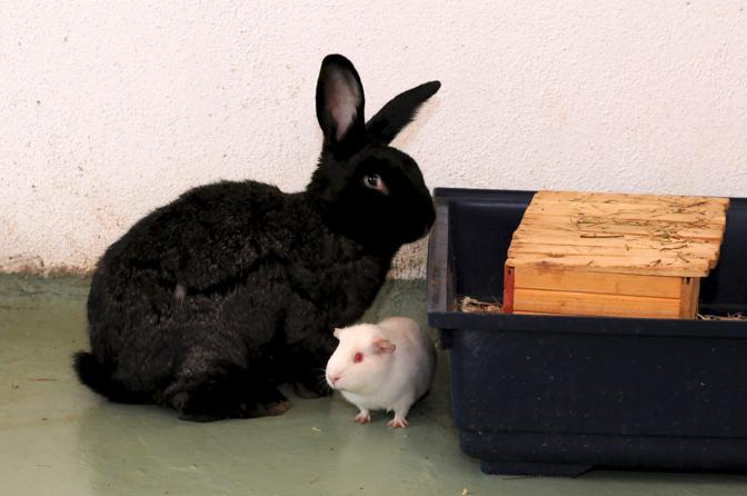 E' nato a Monza, nel cuore del Parco, a Villa Mirabello, il primo centro italiano di recupero di animali da laboratorio: «La collina dei conigli»  (Fotogramma)