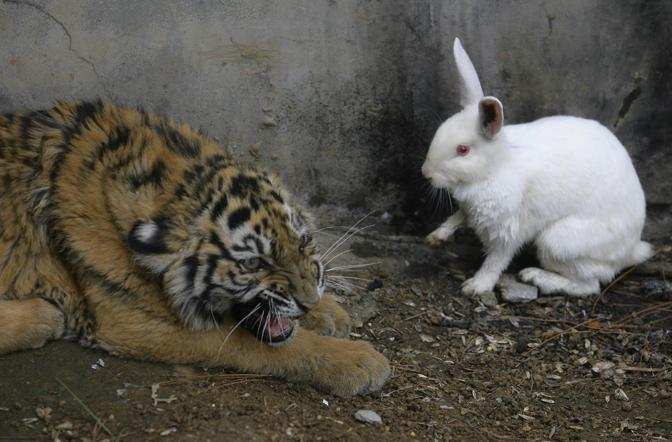 Il 3 febbraio in Cina l'anno della tigre lascerà il passo a quello del coniglio. E per rappresentare simbolicamente questo passaggio di consegne, nel Jiufeng Forest Zoo di Wuhan i guardiani hanno deciso di mettere un coniglio bianco. L'animale aveva in realtà soprattutto il compito di stimolare l'istinto predatorio degli animali. Che però hanno ancora molto da imparare (Reuters)