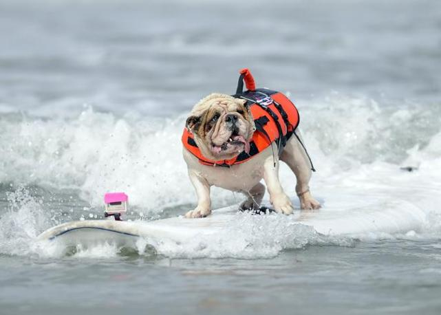 "Betsy, esemplare di bulldog, impegnata a mantenere l'equilibrio su una tavola da surf nel ""Purina Incredible Dog Challenge"" di San Diego, in California, curiosa manifestazione di sport acquatici per cani (Reuters)"