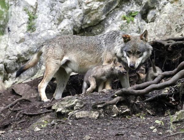 Un lupo con i suoi due cuccioli nello Juraparc vicino Vallorbe in Svizzera  (Reuters)