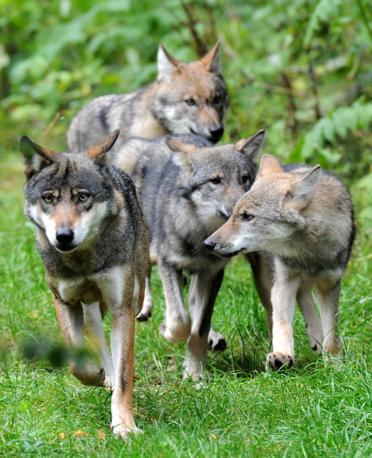 """Parco naturale di Eekholt, Germania. Tre lupacchiotti di quattro mesi seguono la loro madre adottiva """"Lena"""". Il parco, di circa 67 ettari di estensione, è dedicato alla presentazione degli animali nel loro habitat naturale (Corbis)"""