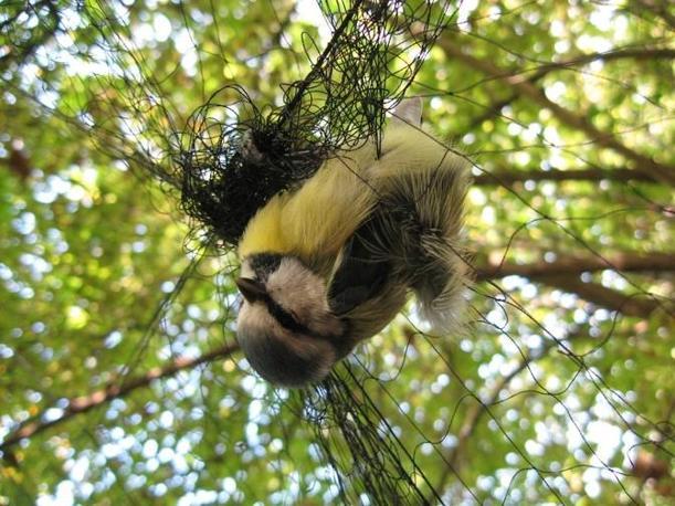 Un passeriforme nella rete