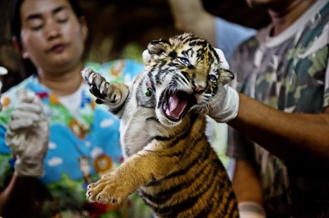 Un cucciolo di tigre recuperato in Thailandia (Wwf-Canon)