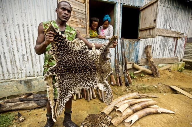 Pelle di leopardo e zanne di elefante in Gabon (Wwf-Canon)