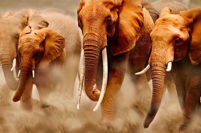 Elefanti (Wwf-Canon)
