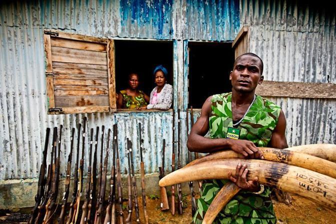 Zanne di elefante sequestrate in Gabon (Wwf-Canon)