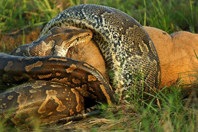 Kruger National Park, Sudafrica: un pitone tenta di ingoiare uno gnu tutto intero. Testimone della scena il fotografo Rudi Hulshof, durante un'esplorazione (Rudi Hulshof/Caters News/Milestone Media)