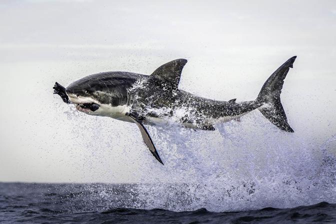 La fotografa, dopo tre giorni di appostamento, � riuscita a catturare il momento in cui uno squalo bianco compie un balzo straordinario fuori dall'acqua dell'Oceano per catturare una foca  (Dana Allen/Caters News/Miles