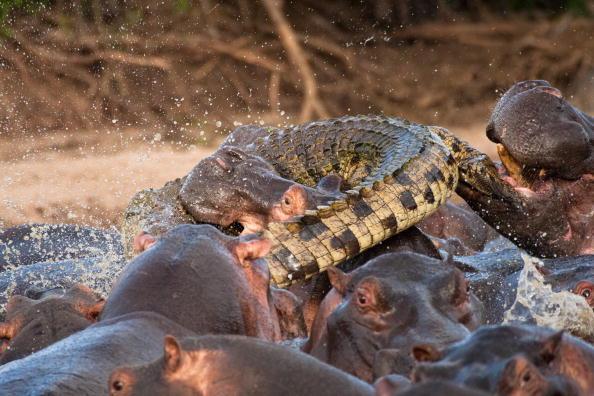 L Ippopotamo Divora Il Coccodrillo