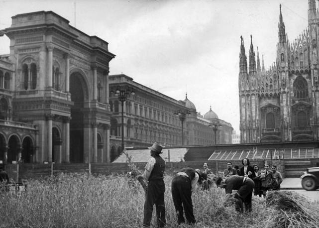 Raccolta del grano in piazza Duomo a Milano