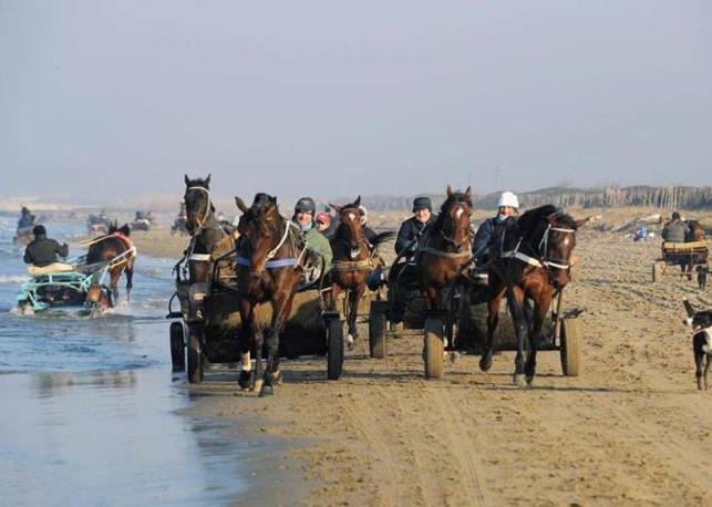Spiaggia di Cuma: ogni mattina si svolgono gli allenamenti dei cavalli. Sulla sabbia per rinforzare i muscoli, nell?acqua per disinfiammare i tendini. Sono circa 50 le scuderie nella zona e oltre 1.000 gli addetti del settore - Foto di  Mauro Sioli