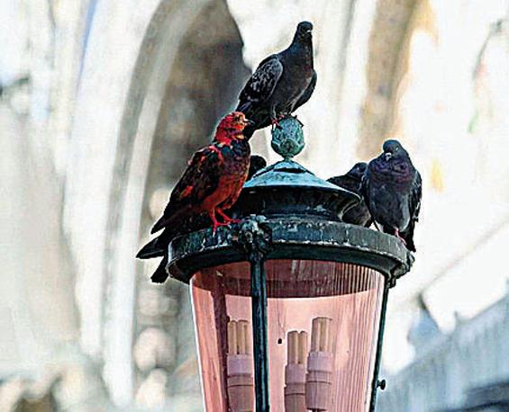 I piccioni di Venezia colorati da Julian Charri�re