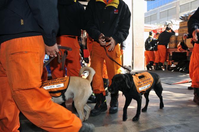 Questi labrador da ricerca sono in partenza da Taiwan (Afp)
