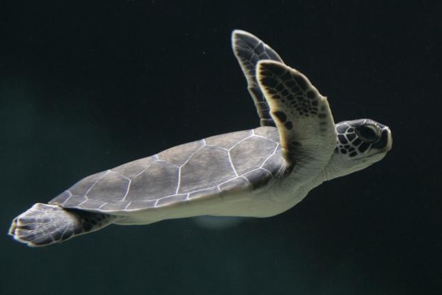 TARTARUGHE MARINE: cinque delle sette specie di tartarughe marine conosciute hanno fra le rotte migratorie proprio il delta del Mississipi. Le Caretta Caretta si nutre nelle acque calde del golfo tra maggio e ottobre (Toru Hanai/Reuters - da globalpost.com)