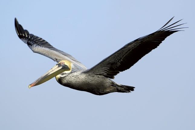 PELLICANO MARRONE: l'uccello simbolo della Louisiana è uscito dalle specie in via di estinzione solo lo scorso anno, ma rischia di rientrarci subito, visto che in questo periodo depone le uova vicino alle spiagge (Bill Stripling/National Audubon Society - da globalpost.com)
