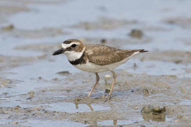 UCCELLI MIGRATORI: moltissime specie di uccelli migratori stanno facendo sosta sulle spiagge della Louisiana (Bill Stripling/National Audubon Society - da globalpost.com)
