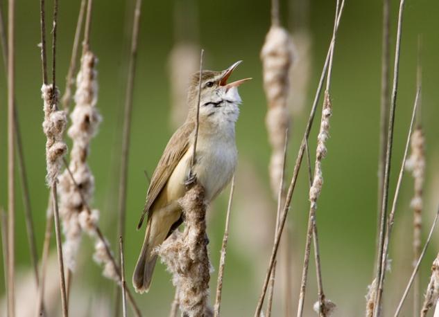UCCELLI CANTERINI: le specie di passeri a rischio sono 96 (Vasily Fedosenko/Reuters - da globalpost.com)