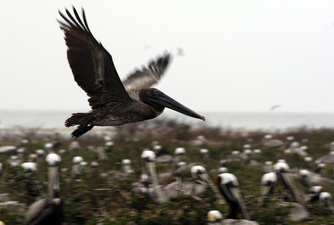 In Louisiana si lavora freneticamente anche per cercare di proteggere le coste dalla marea nera, con misure che vanno dalle barriere protettive al tentativo di spingere via gli animali in pericolo. «Sono già stati disposte 30 chilometri di barriere lungo la costa, con altri 150 pronti ad essere posizionati - spiega Charlie Henry, esperto del Noaa - alcune parti della marea sono a soli 30 chilometri dalla costa della Louisiana, e altre misure che stiamo per mettere in atto sono l'uso dei cannoni per spaventare gli uccelli e farli volar via e l'impiego dei battelli dei pescatori per versare detergenti dove ci sono le secche». Il territorio colpito dall'impatto con il petrolio rappresenta il 40% delle aree umide, oltre al principale sito di pesca degli Stati Uniti. La conformazione del terreno potrebbe rappresentare un grosso ostacolo ai soccorsi. Le zone umide sono piene di animali che si nutrono dei sedimenti del delta del Mississippi, fra cui pesci e crostacei, e sono anche una zona di passaggio per molti uccelli migratori. Anche mammiferi e cetacei sono minacciati, sia perché potrebbero ingerire acqua contaminata, sia perché le loro prede potrebbero essere ricoperte di petrolio, che una volta mangiato crea infiammazioni e danni agli organi (Epa)