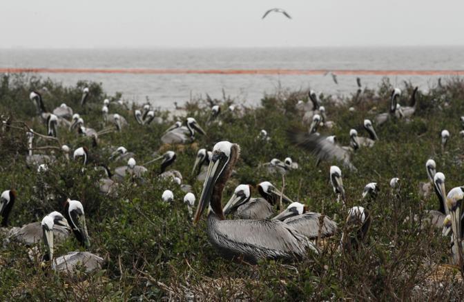 Pellicani sulla Breton Island (Ap)