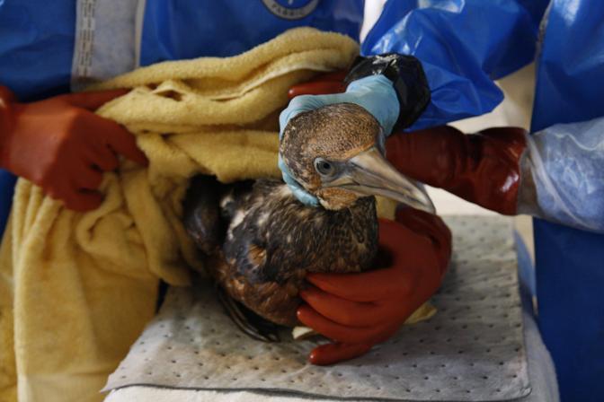 Alcuni uccelli sono stati accolti e curati dai veterinari del Tri-State Bird Rescue and Research di Fort Jackson in Louisiana. Nelle paludi del delta del Mississippi vivono oltre 400 specie animali (Epa)