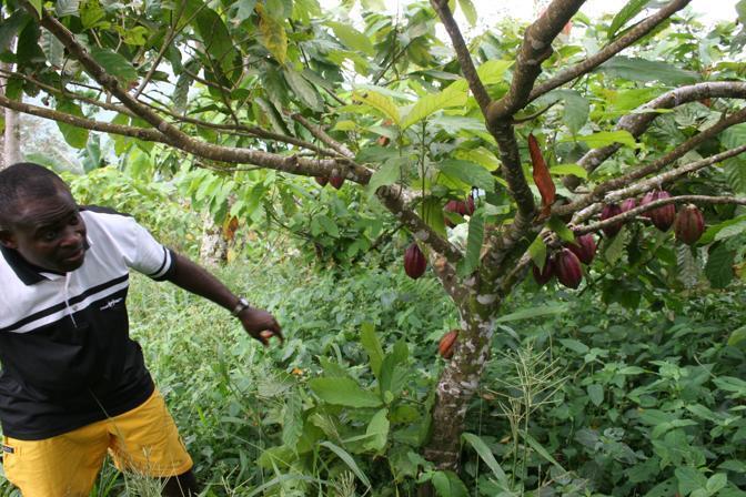 Piante Di Cacao : Corallo e il cioccolato africano