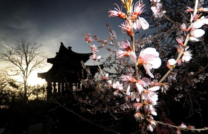 Ciliegi vicino a una pagoda a Pechino (Afp)