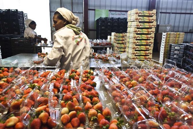 Le immagini scattate dal fotografo Alfredo Bini in Etiopia, dove � in corso un fenomeno che gli attivisti chiamano �landgrabbing�: requisizione della terra dei Paesi poveri da parte dei grandi investitori esteri a fini di export (alfredobini/cosmos @alfredobini75)