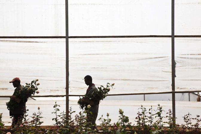 Lavoratori portano le rose all'interno dell'area stoccaggio e imballaggio per le spedizioni verso l'Olanda (alfredobini/cosmos @alfredobini75)