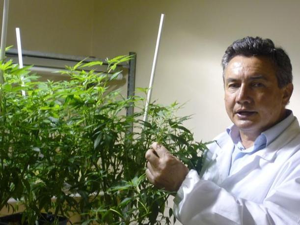 Nelle foto alcune fasi della coltivazione della cannabis e delle analisi svolte nel Centro di ricerca per le colture industriali del CRA di Rovigo. Qui il direttore Gianpaolo Grassi nel laboratorio dove viene analizzata  la composizione dei principi attivi della pianta e dove si studiano le sue caratteristiche (foto Ruggiero Corcella)