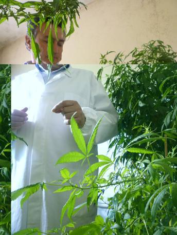 Gianpaolo Grassi mostra le piante di cannabis fatte crescere nel Centro (R. Corcella)
