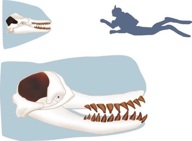 Confronto tra orca (in alto) e leviathan (in basso) (illustrazione di G. Bianucci)