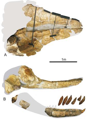 Cranio, mandibola e denti di Leviathan melvillei. a, veduta dorsale; b, veduta ventrale; c, veduta laterale. In grigio le parti mancanti.  (foto di G. Bianucci)