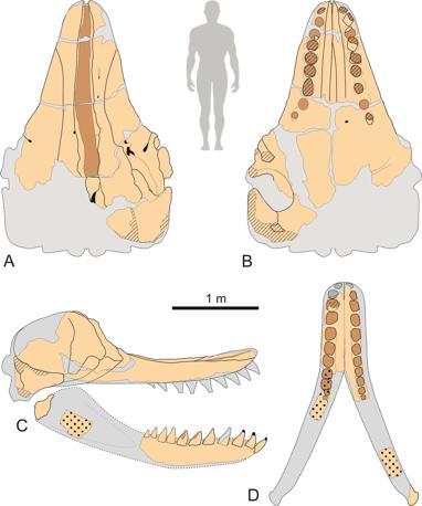 Disegno schematico del cranio e della mandibola Leviathan melvillei.  A, veduta dorsale; B, veduta laterale; C, veduta ventrale (illustrazione di G. Bianucci)