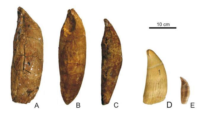 Denti mandibolari di Leviathan melvillei (A-C), di capodoglio (D) e di orca (E) (foto di G. Bianucci)