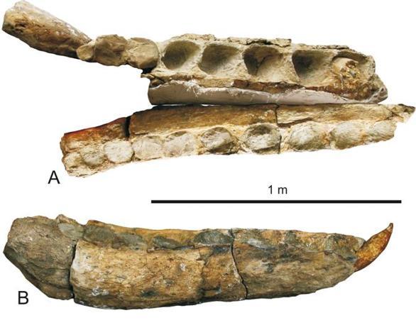 Mandibola di Leviathan melvillei. A, veduta dorsale; B,veduta laterale (foto di G. Bianucci)