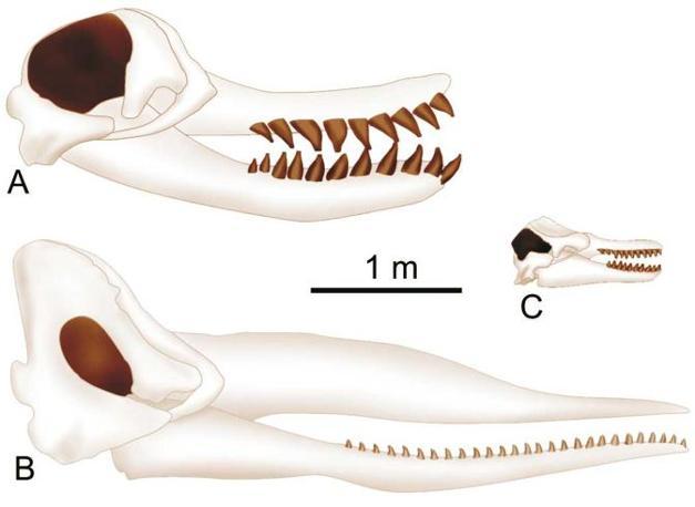 Confronto tra il cranio e la mandibola di Leviathan (A) e quelli del capodoglio (B) e dell?orca (C). Da notare le grandi dimensioni della fossa temporale e dei denti in Leviathan. Tutte le illustrazioni sono alla stessa scala (illustrazione di G. Bianucci)